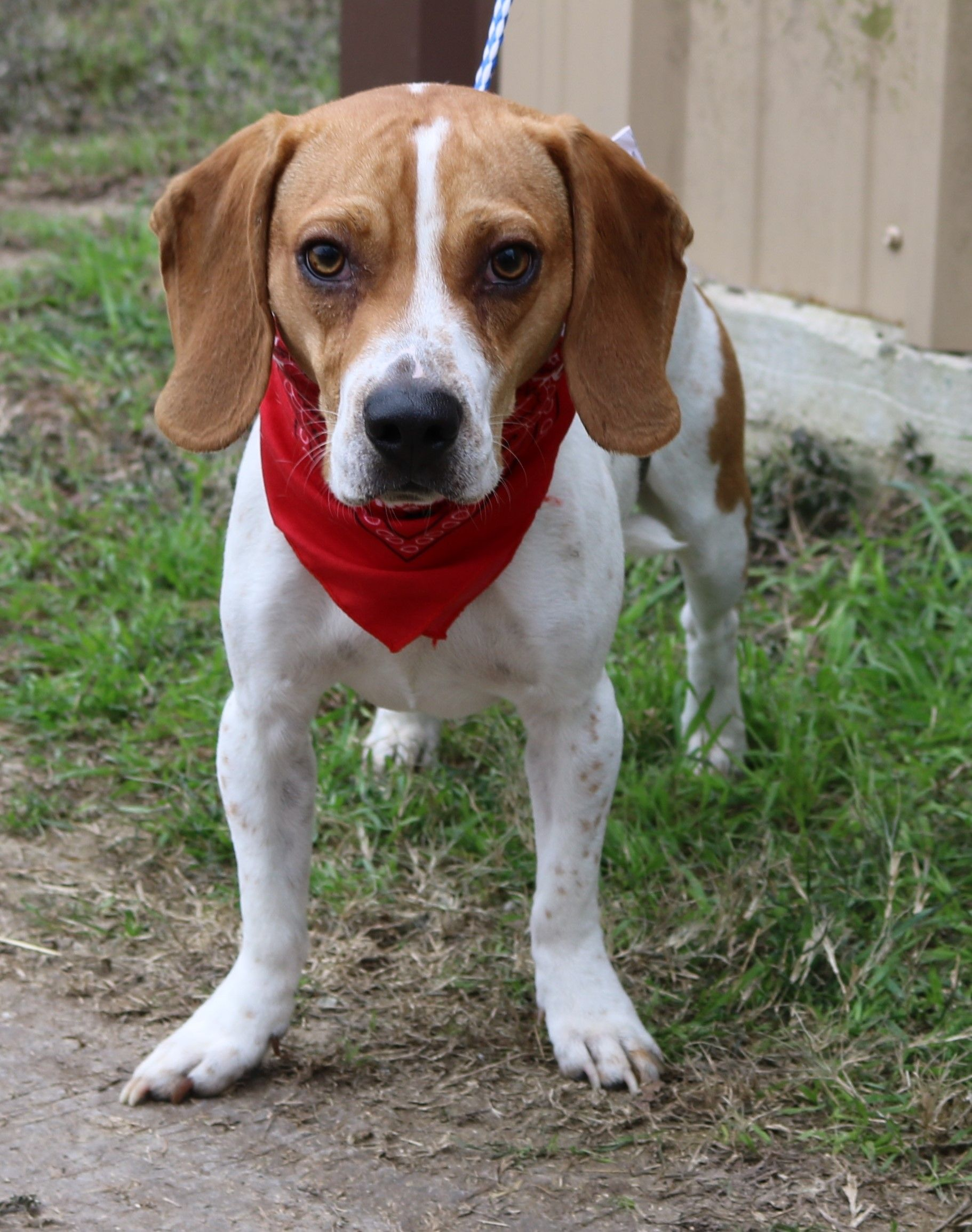 Beagle Dog For Adoption In Bandera Tx Adn 765786 On Puppyfinder