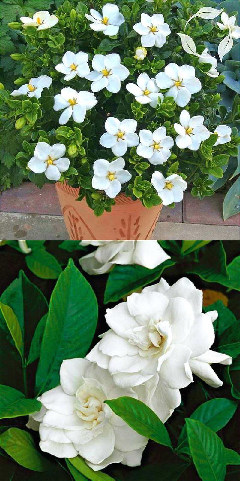Visit to buy free shipping bonsai white jasmine flower seeds visit to buy free shipping bonsai white jasmine flower seeds fragrant plants arabian jasmine izmirmasajfo