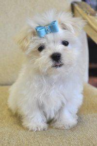 Cassie S Closet Cassie S Closet Havanese Puppies For Sale Havanese Puppies Havanese Dogs
