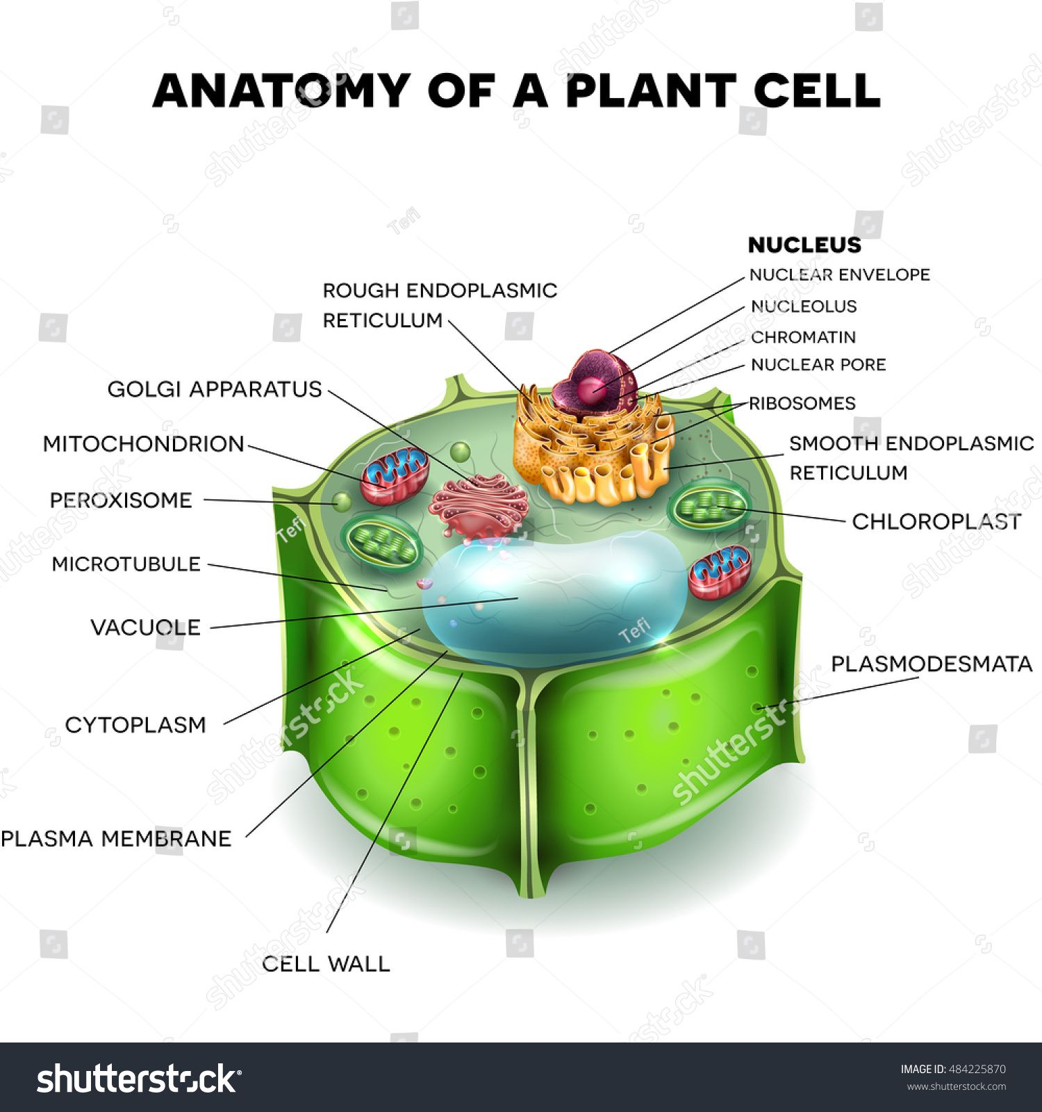Plant Cell structure, cross section of the cell detailed