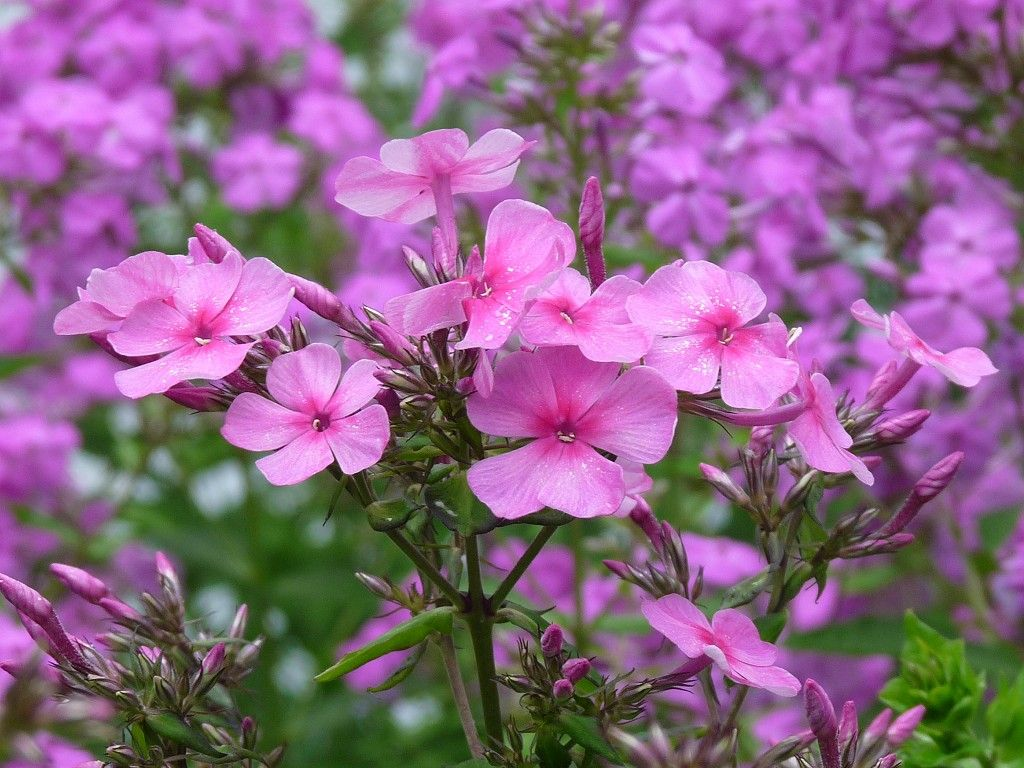 Tall Pink Perennial Flowers Flower Wallpapers