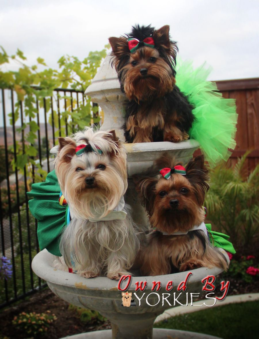 Little Yorkies Make Big Wishes Dogs Pets Yorkshireterriers Facebook Com Sodoggonefunny With Images Yorkshire Terrier Dog Cute Dogs Yorkie Dogs