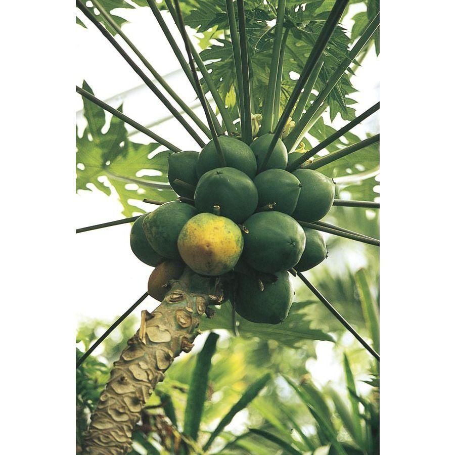 2.25 Gallon Papaya Fruit Tree (L14496) NURSERY