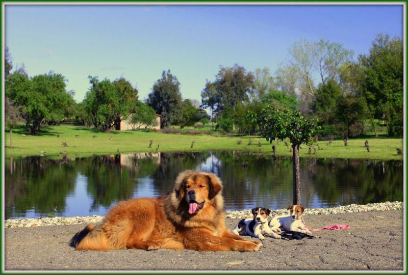 Mister Puppy The Tibetan Mastiff With Jack Russell Terriers