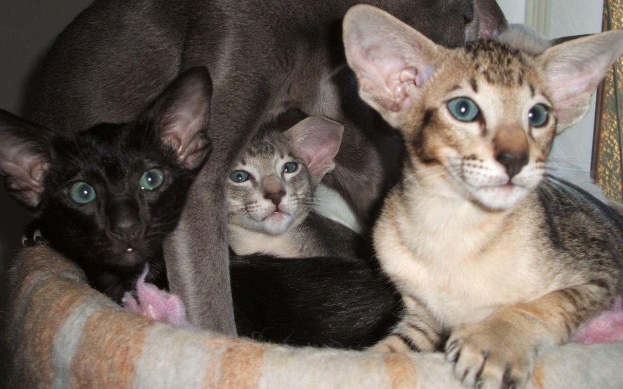 oriental cat Buscar con Google Cats Pinterest