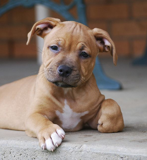 Such A Cute Little Pit 3 Pitbull Puppies Bully Dog Dog Shaming