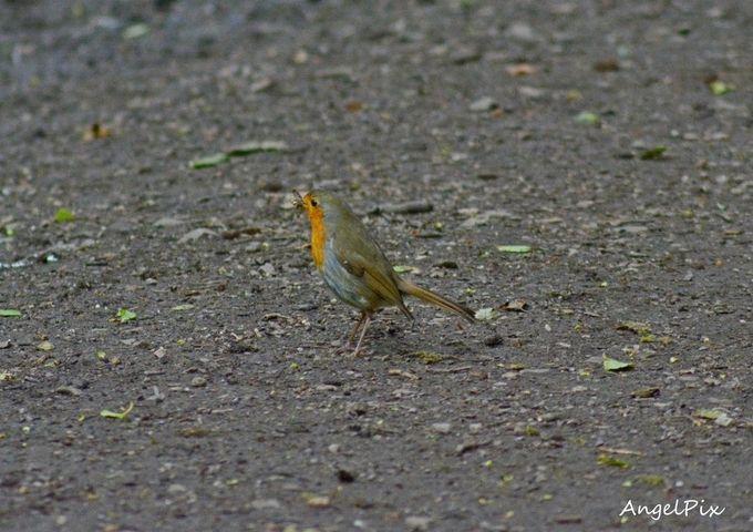 "Photo ""Robin"" by AngelPixCN"