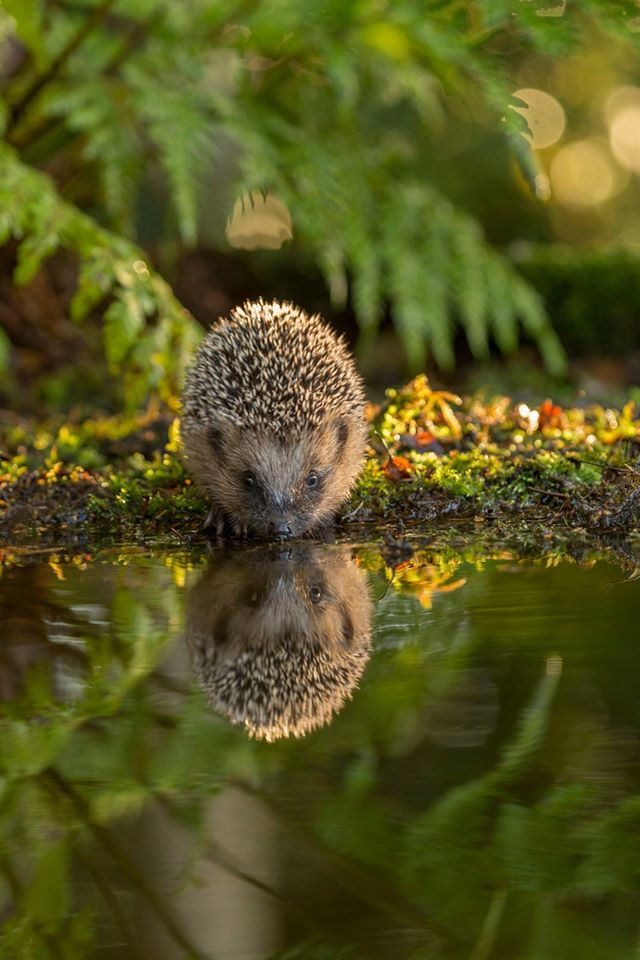 Hedgehoge