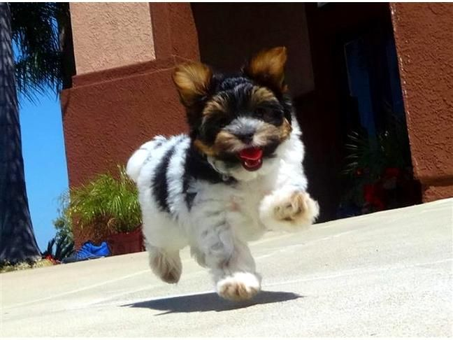 Say hello to 'Brando', our beautiful Parti Yorkie puppy for sale. Parti, means that the Yorkie has an extra DNA strand allowing the white in its coat. Watch Brando play: http://youtu.be/tTqW-DfuUXY  - ACA Registered  - 9 weeks old - Health Guarantee - Current on Shots - 6-8 lbs Adult Weight - Vet Checked  - Clean Bill of Health - Microchip (optional) - Potty Training Kit (optional)  For more info or an appointment:  Call or Text- (619) 786-7362  - www.PuppyAvenue.com -