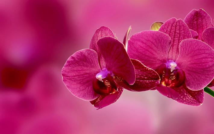 Telecharger Fonds D Ecran Orchidee Rose De Fleurs