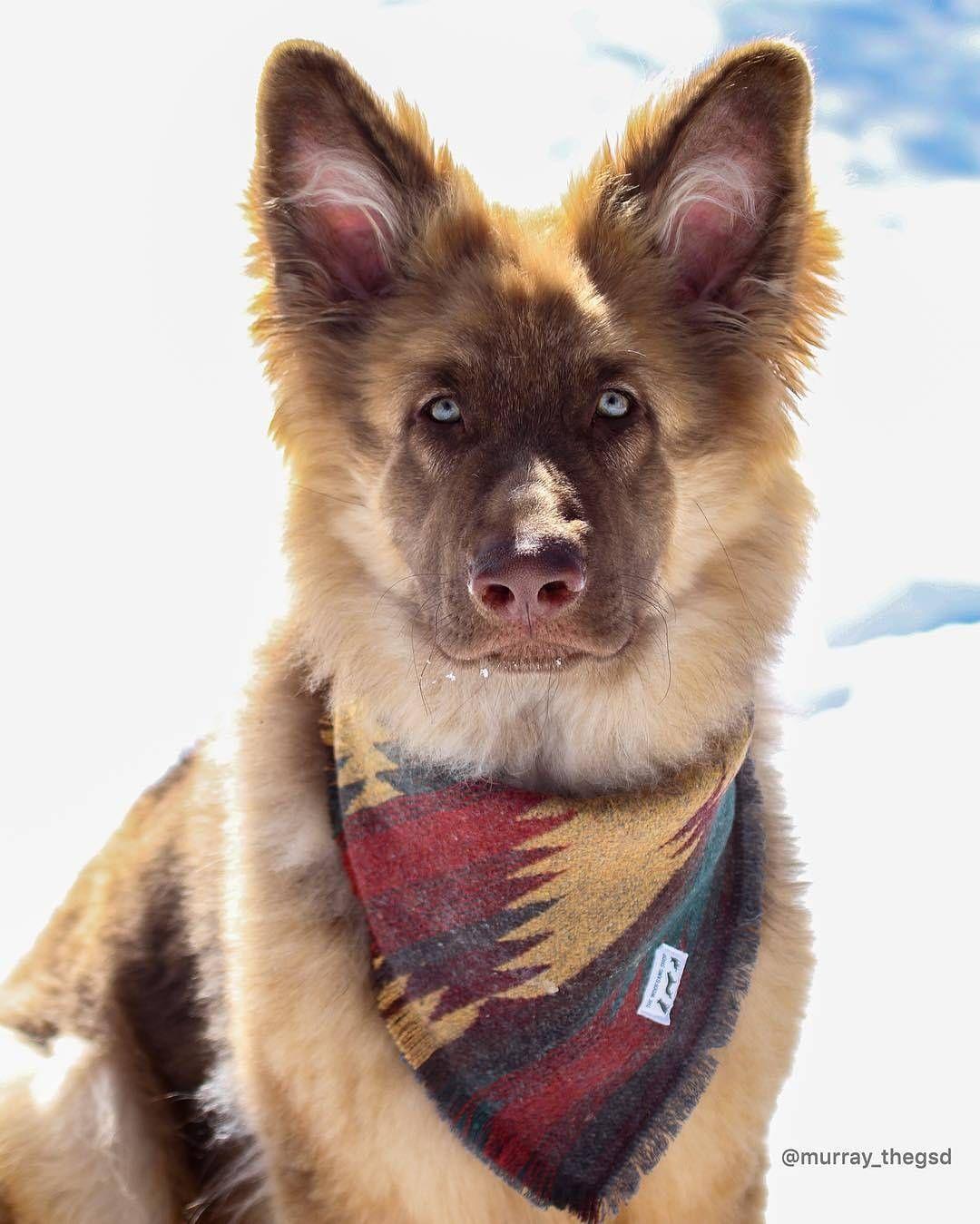 Sable German Shepherd Puppies For Sale Craigslist References