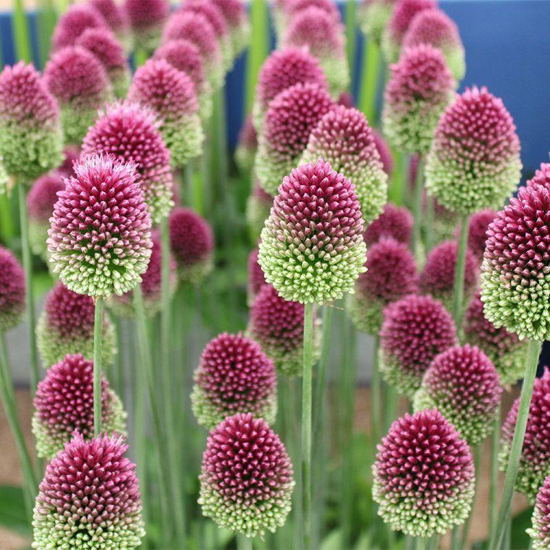 Drumstick Allium In 2020 Bulb Flowers Allium Flowers Flower Seeds