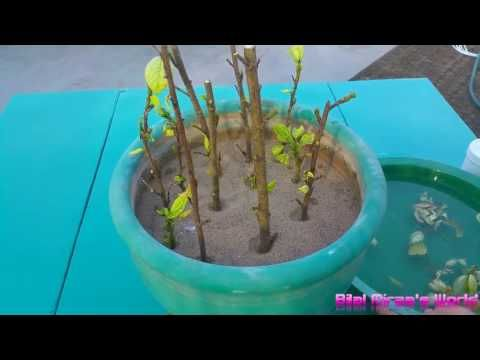 13 How To Grow Hibiscus Plant From Cutting October 2016 Urdu