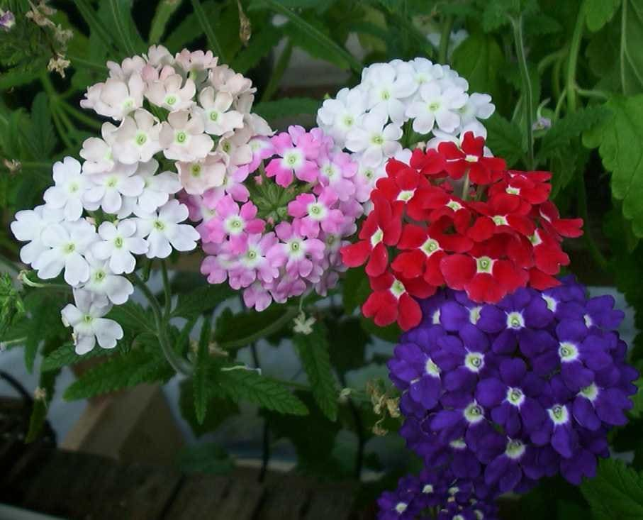 Top 10 Easy Perennial Plants To Grow From Seed In 2020 Flower Seeds Easy Perennials Kalanchoe Blossfeldiana