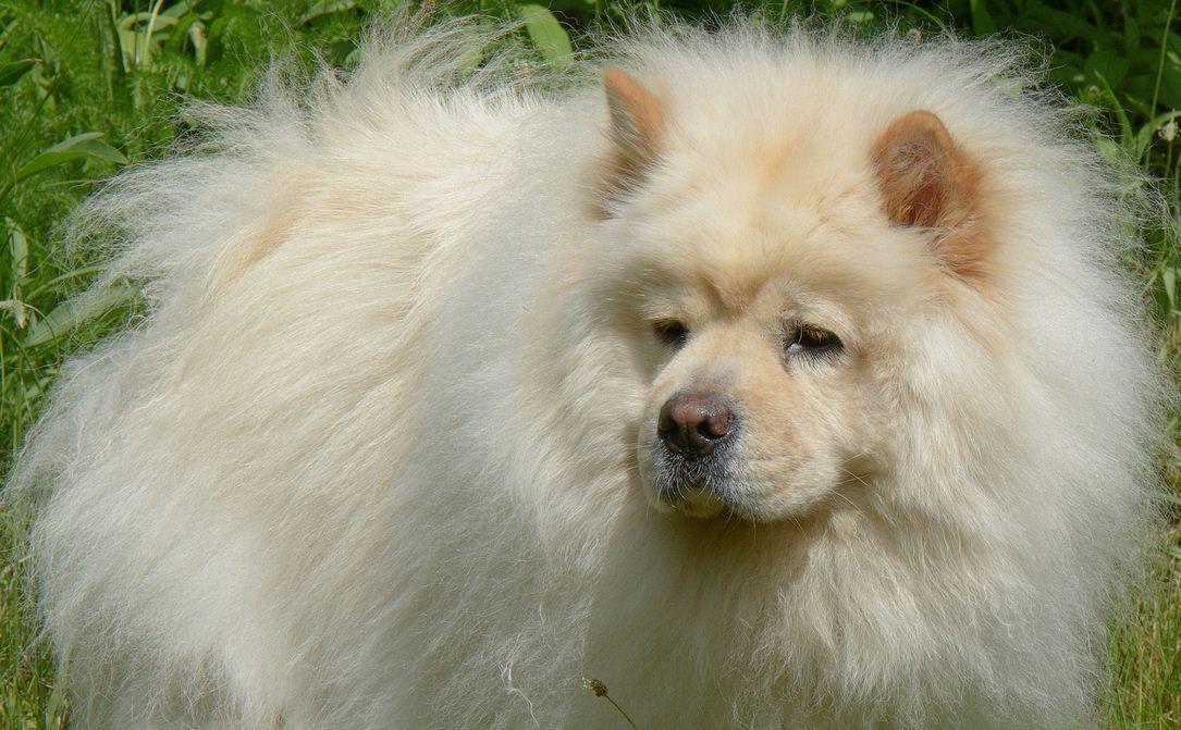 Собаки породы чау-чау (фото): своенравный домашний лев (с ...