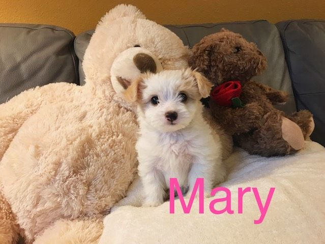 Maltipoo puppy for sale in LOS ANGELES, CA. ADN52166 on