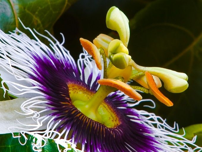 Passion Fruit Flower Photo By Photographer Dominick Marino Passion Fruit Flower Passion Fruit Passion Flower
