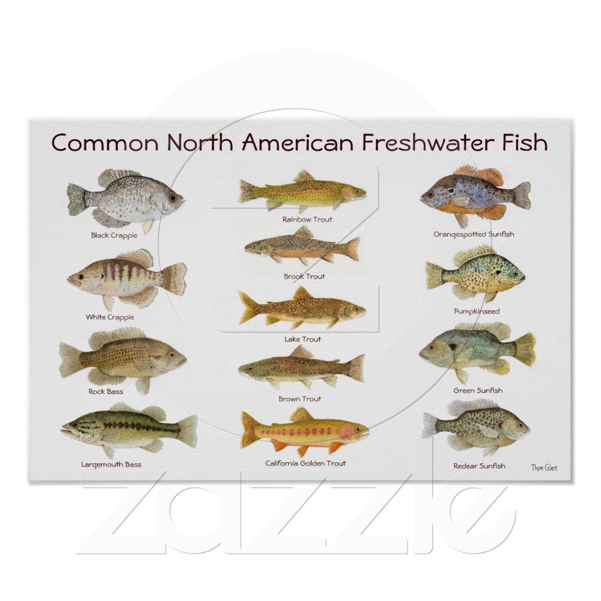 Freshwater fish anatomy - Freshwater Fish Poster