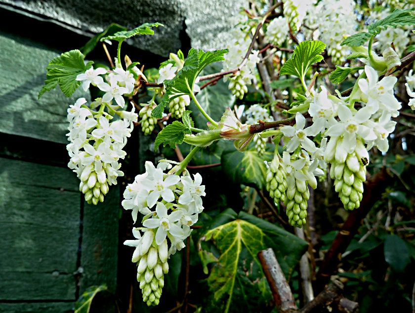 Ribes sanguineum white icicle flowering currant the white ribes sanguineum white icicle flowering currant mightylinksfo