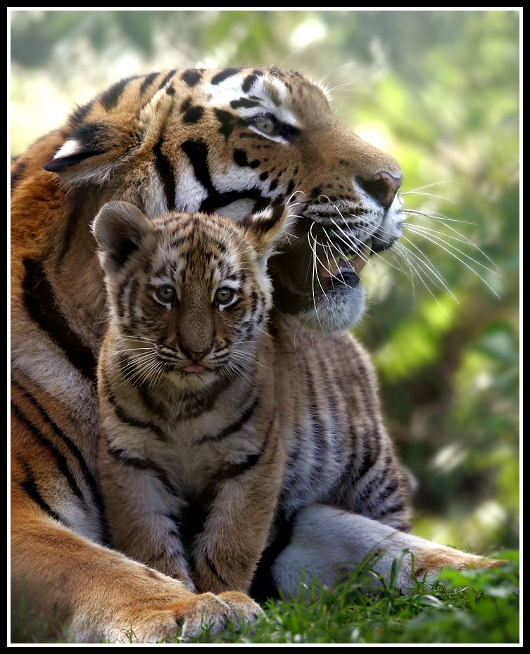 Mother and Cub 2 by Wolfy2k4 | Tigers! | Pinterest ...