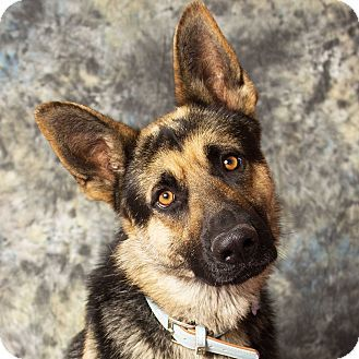 Pin By Moe Grealis On Dogs Pets German Shepherd Dogs Dogs