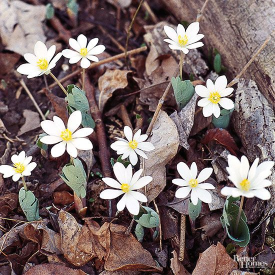 15 native plants for the midwestern garden pinterest woodland a quaint ephemeral bloodroot blooms in early spring producing white daisy shaped flowers the foliage looks like bigfoots pawprint but goes dormant by mightylinksfo