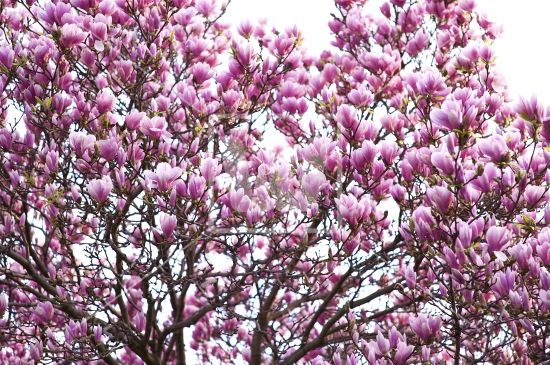 Saucer Magnolia Saucer Magnolia Tree Magnolia Trees Fast Growing Trees