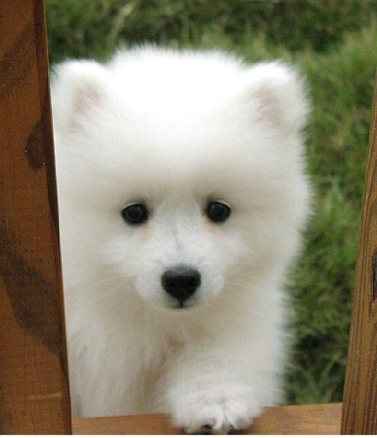 Top Samoyed Chubby Adorable Dog - da6830b063c6b13ab6b463ab4603fd98  Gallery_662325  .jpg