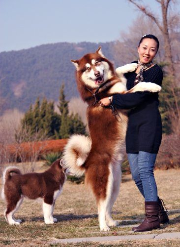 Dadijonny Alaskan Malamute Dog Breed China Earth And Son