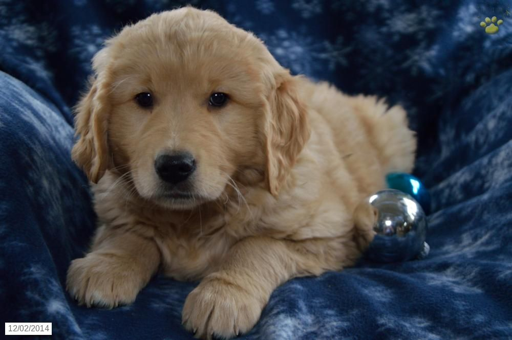 Golden Retriever Puppy for Sale in Indiana