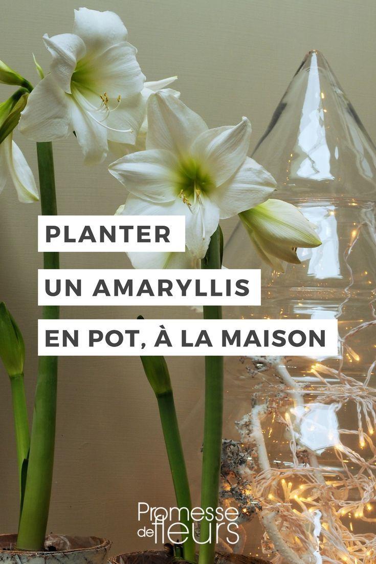 Planter Un Amaryllis En Pot Pour L Interieur Planter Des Fleurs
