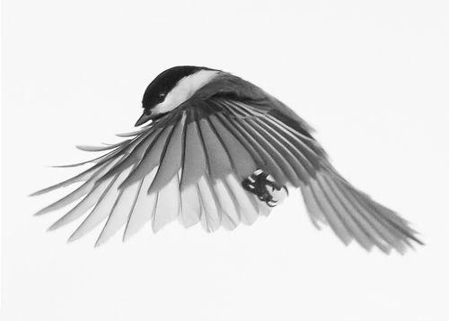 Jerry Rayala captured this amazing photo of a chickadee ... - photo#8