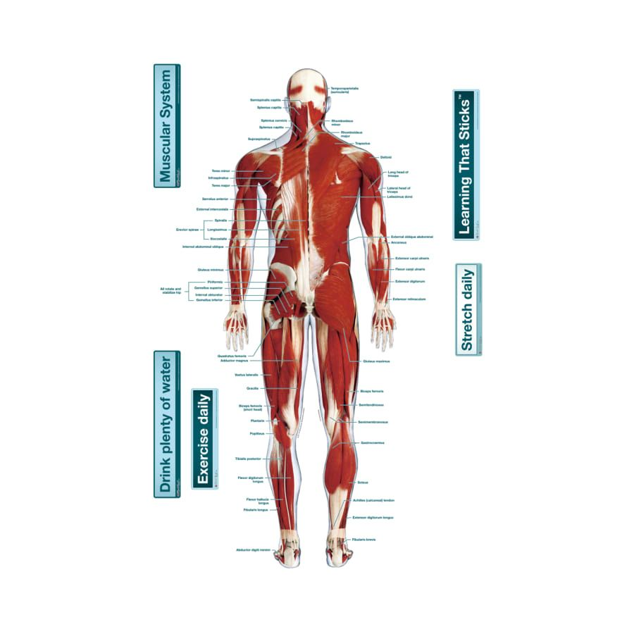 The Muscular System Labeled Human Anatomy Drawing Pinterest