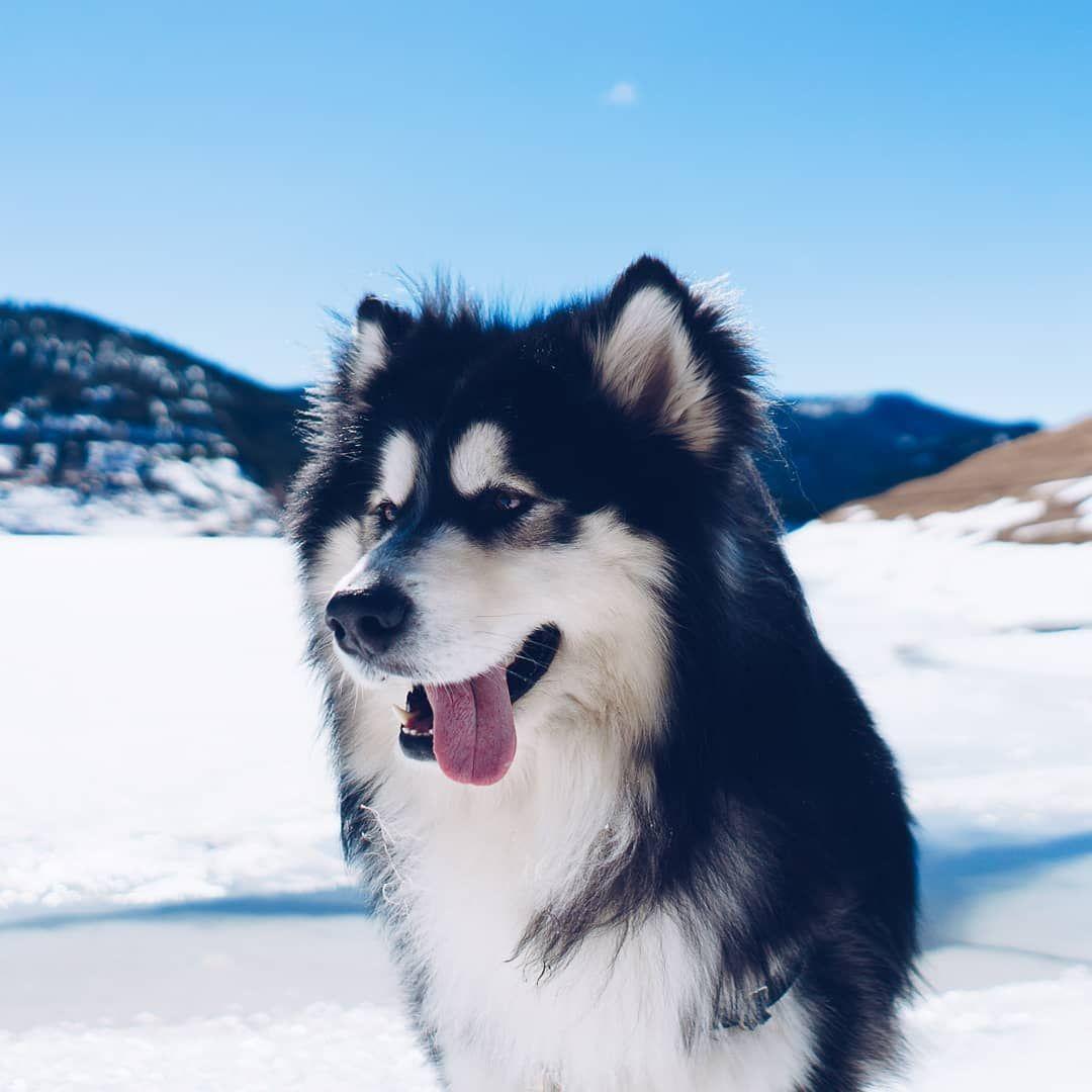 7 Things To Know Before Getting An Alaskan Malamute Malamute Dog