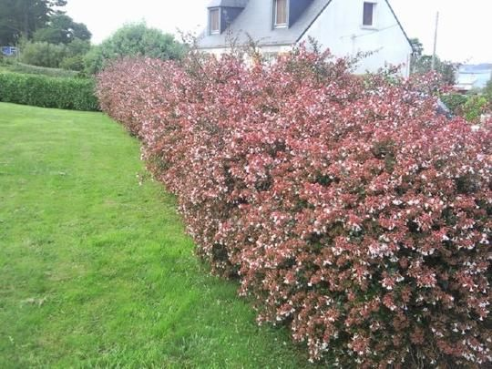 abelia hedge  screening plant with flowers