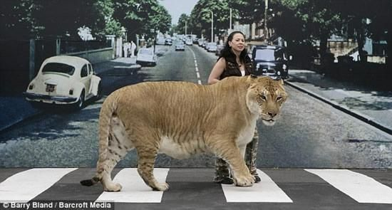 Imagine Cat Food Bill For Hercilues U2013 Biggest Cat In The World