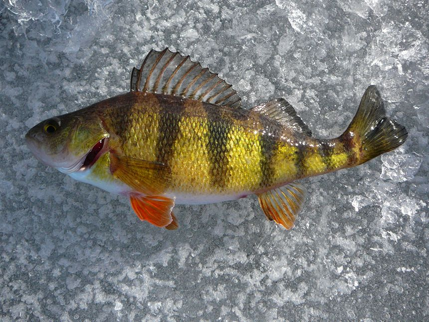 Perch fish tattoo google search tattoo ideas pinterest for Ice fishing perch