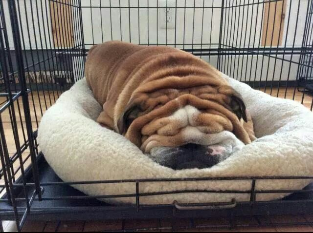 Bulldog pic of the day