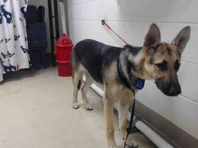 Jojo Id A466584 Urgent Harris County Animal Shelter In Houston Texas Animal Shelter Animals Humane Society