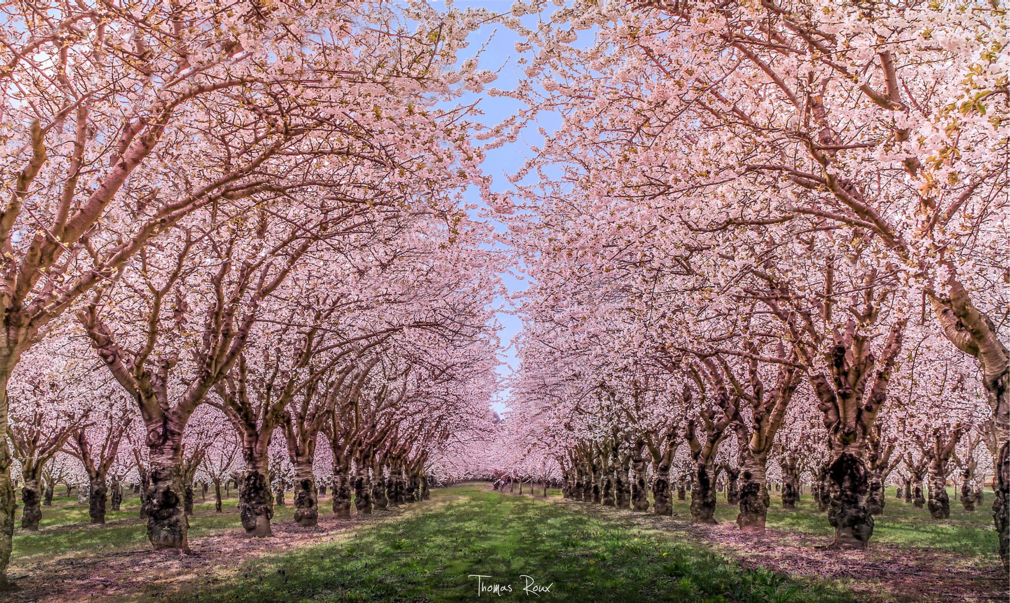 45 Charming Cherry Blossoms That Will Inspire Your Day Blossom Trees Beautiful Tree Cherry Blossom