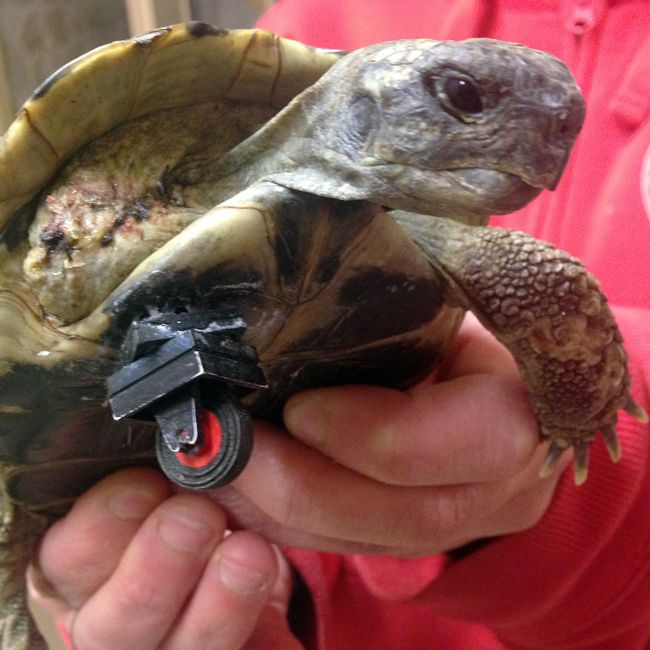 Docs Amputate Tortoises Infected Leg Replace It With Lego Wheel - Injured tortoise gets set lego wheels help move