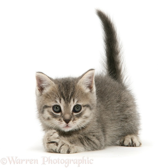 Grey tabby British Shorthair kitten, white background in