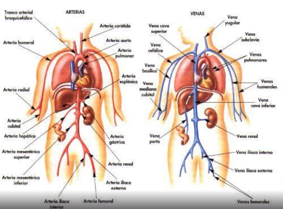 Arterias y venas del cuerpo humano | Anatomía & Fisiología ...