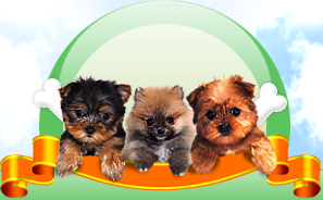 Morkie Puppies For Sale In Ohio Columbus Cincinnati Dayton Toledo Morkie Puppies Puppies Shichon Puppies