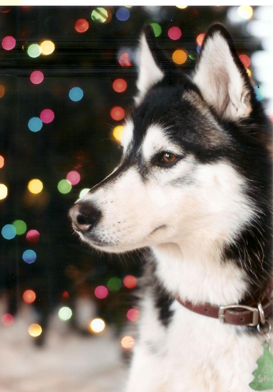 Happy Holidays Siberian Husky Puppies Beautiful Dogs Husky Puppy