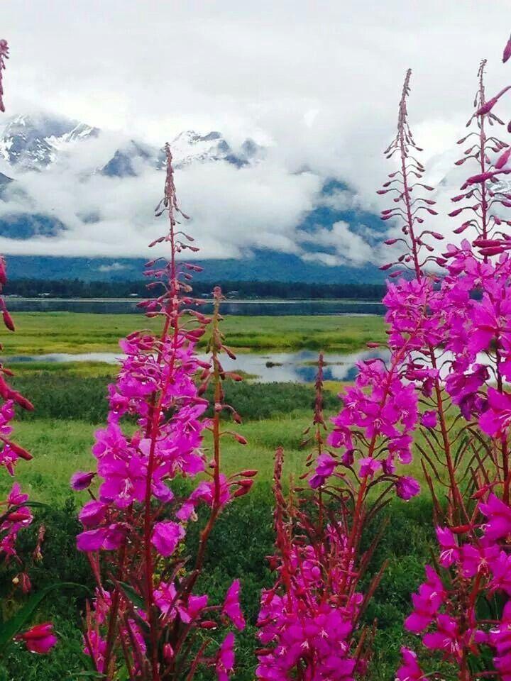 Alaska fireweed valdez alaska beautiful flowers
