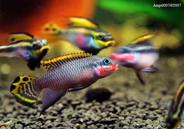 Pelvicachromis taeniatus 4 west african cichlid easy for Easy pet fish