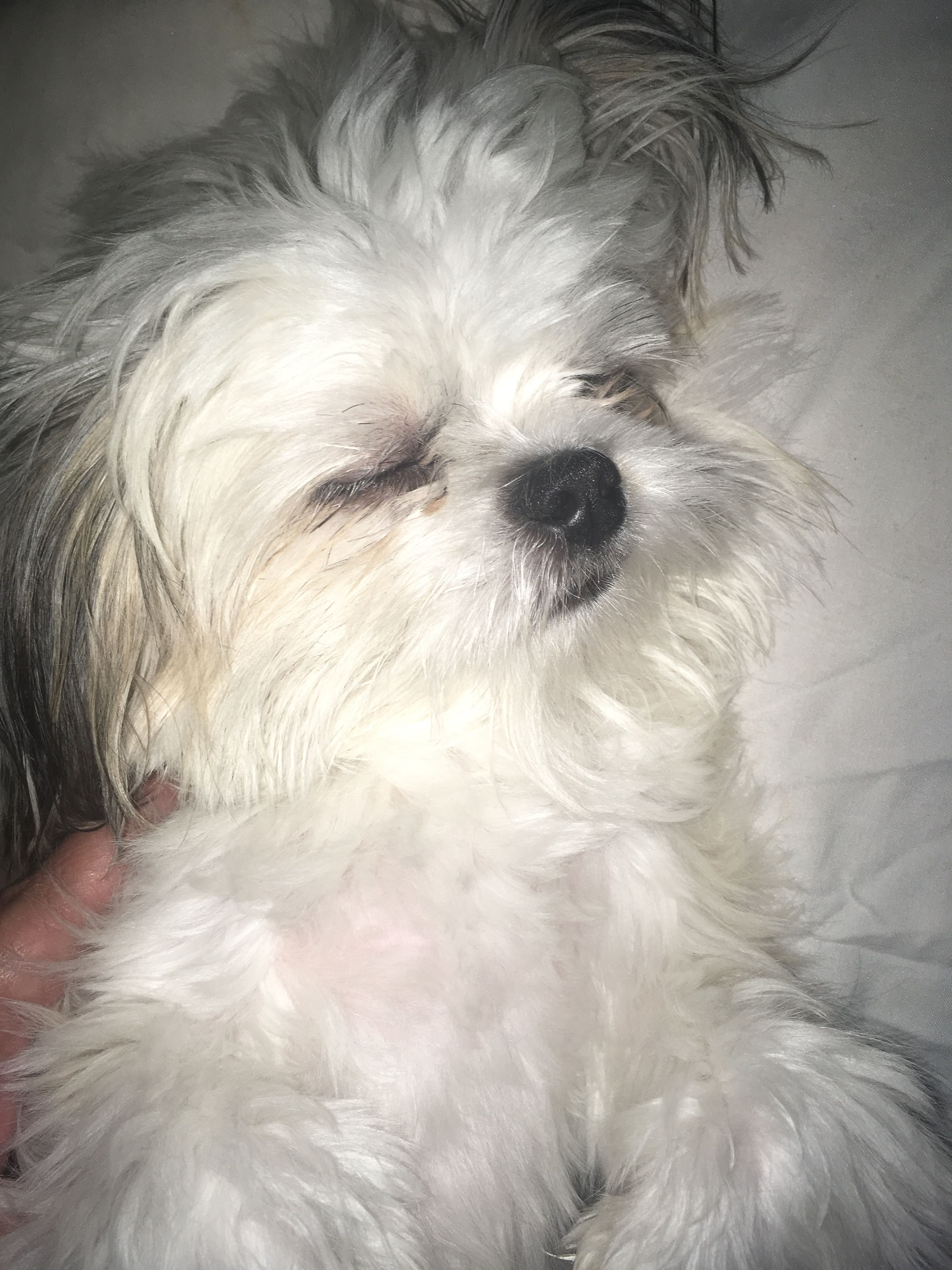 Pin By Chinese Imperial Shih Tzu Bamb On Shih Tzu Cutest Dog Shih Tzu Cute Dogs Shih Tzu Puppy