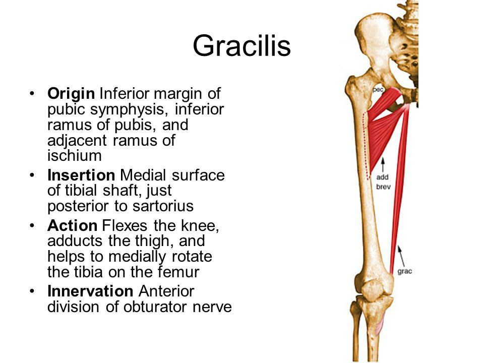 gracilis origin and insertion - google search | muscle origins and, Muscles