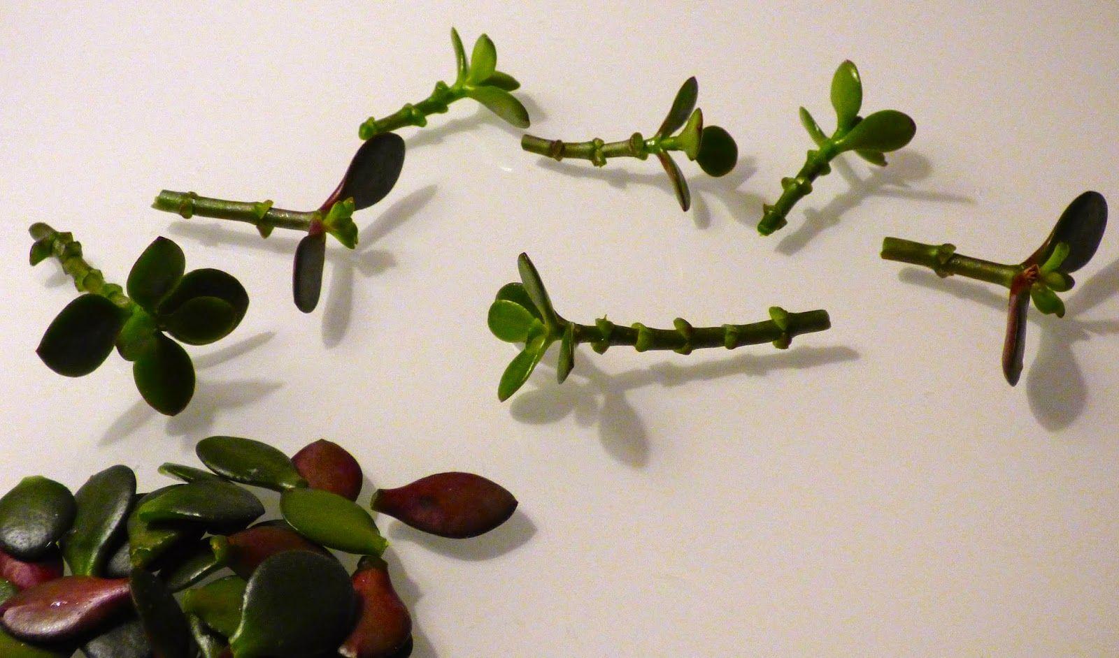 La Main Verte Multiplier Les Succulentes Succulentes Plantes